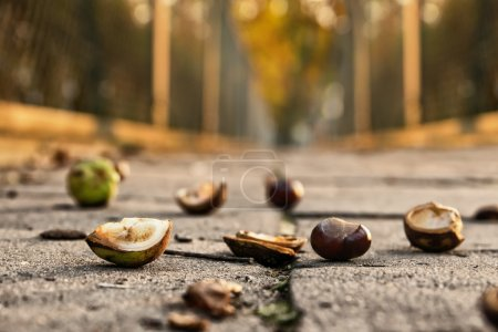 Chestnuts lying on the pavement. Autumn background...