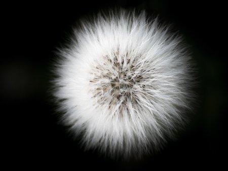 Flashing white  plume of hawkweed hieracium. Black...