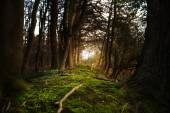 Mystical forest footpath with  moss leading between dark trees to the  light