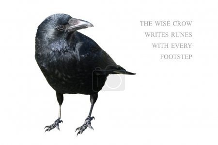 Photo for Standing crow isolated on white background, sample text in the copy space the wise crow writes runes with every footstep - Royalty Free Image