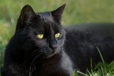 black cat in the grass, animal portrait with green background