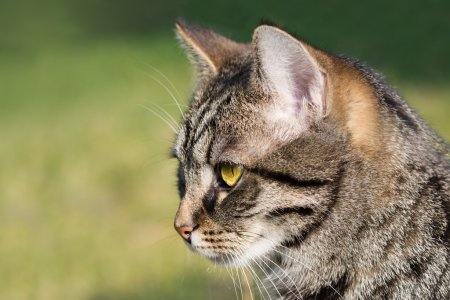 cat portrait, close up of the head, green background