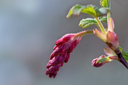 buds of red flowering currant, close up with copy space