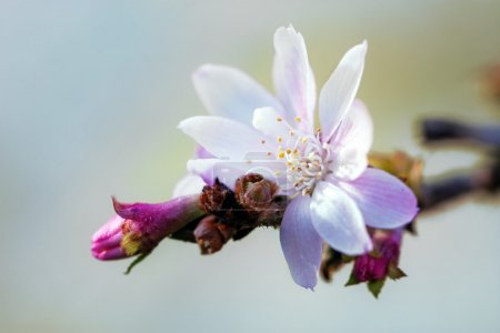 close up of the first cherry blossom
