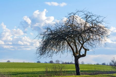 old apple tree on a green field against blue sky with clouds