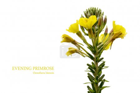 evening primrose (Oenothera biennis) isolated on white