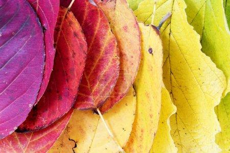 Photo pour Feuilles d'automne coloré, couleurs de la nature organisé comme un arc en ciel, du rouge pourpre au jaune doré au vert, arrière-plan de saisons - image libre de droit