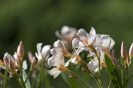 oleander flowers in white apricot pink against a green backgroun
