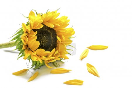Sunflower and some petals isolated on white