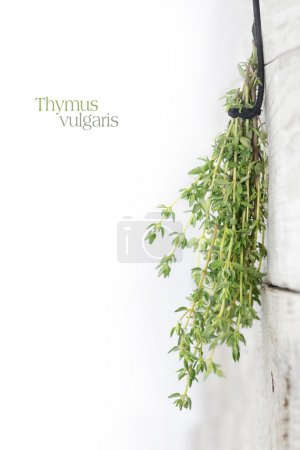 fresh green thyme, Thymus vulgaris, hanging to dry on a bright w