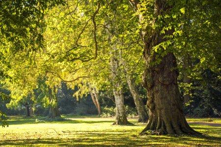 Photo pour Grands vieux arbres dans le parc à la lumière dorée de l'automne en fin d'après-midi - image libre de droit