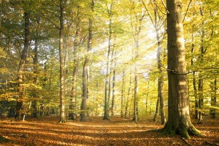 Photo pour Paysage forestier d'automne avec des rayons de soleil et des feuilles d'automne colorées aux grands arbres, beauté dans la nature pour affiches, fond ou papier peint - image libre de droit