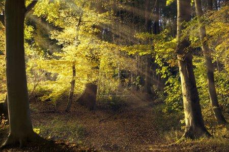 Photo pour Chemin d'accès dans la vieille forêt avec hêtres, rayons du soleil qui brille à travers les feuilles d'automne dorées, beauté dans la nature pour le fond, fond d'écran affiche oder - image libre de droit