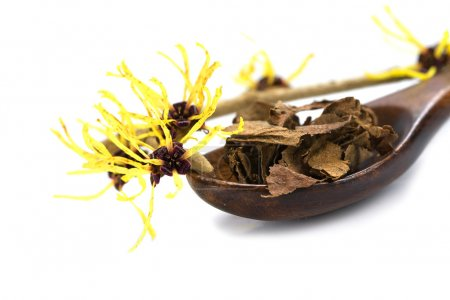 flowering witch hazel (Hamamelis) and dried leaves for natural c