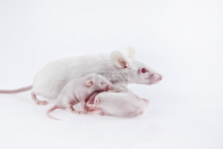 White laboratory mice mother with pups, which are nine days old isolated on white