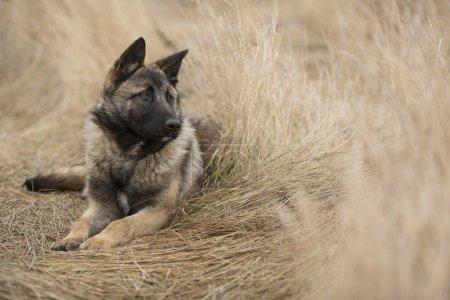 Dog in the cornfield