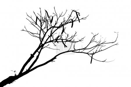 Isolated silhouette of a carob tree...