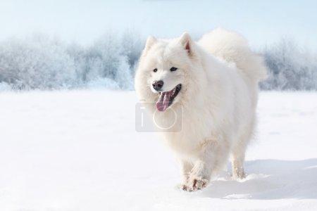 Beautiful white Samoyed dog running on snow in winter day
