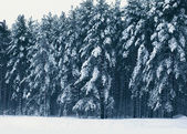 Winter landscape of forest, pine trees covered with snow