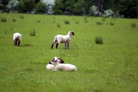 Lambs in a field in Spring season...