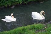 Bílé labutě, koupání v řece