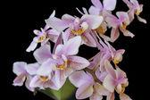 """Постер, картина, фотообои """"орхидея phalenopsis мини-белый розовый цвет на черном фоне"""""""