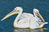 Dvou pelikánů plovoucí na jezeře