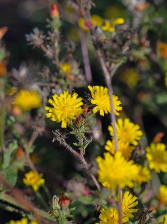 Flowering hawkweed, hieracium, close-up...