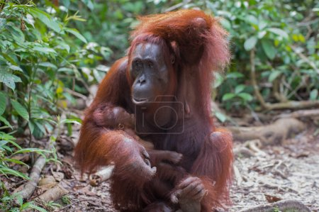 Mama Orangutan with baby in her arms thinking (Indonesia, Borneo / Kalimantan)