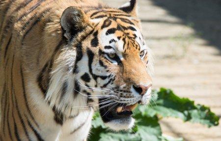 Threat grinning tiger