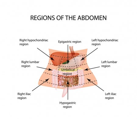 Abdominal Region. The liver, gallbladder, pancreas, stomach, duodenum, intestine, small intestine, large intestine, colon, rectum, apendiks, cecum.