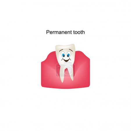 Permanent teeth in the gums. Childrens cartoon style. Infographics. Vector illustration on isolated background