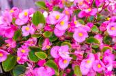 Pink Crown of thorns flowers (Euphorbia milli Desmoul)