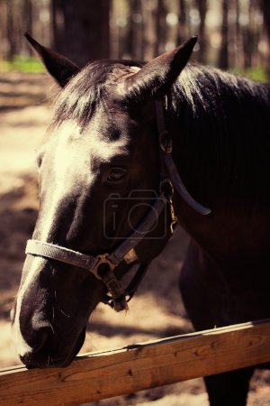 Brown stallion Portrait of sports brown horse Thoroughbred horse. Beautiful