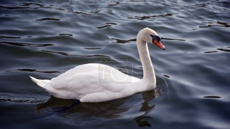 white swan at lake blue water