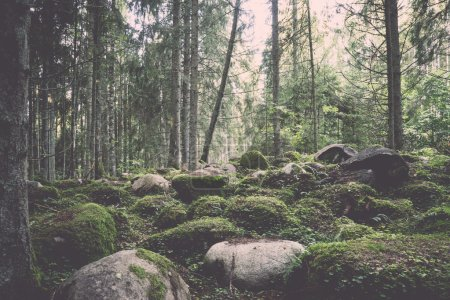 Photo for Old forest with moss covered trees and rays of sun in summer - retro, vintage style look - Royalty Free Image
