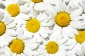 Heřmánek květ pozadí