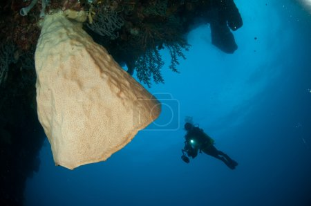 The Giant sponge (Petrosia lignosa) is native to Gorontalo, Indonesia. Its grows up to 3 meters height. Its called Salvador Dali.