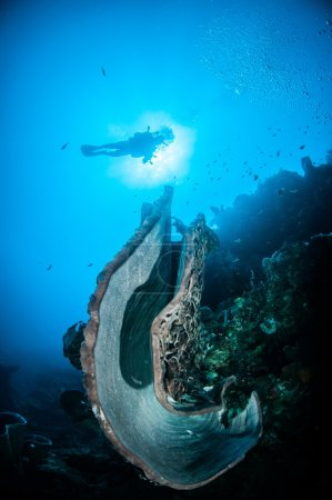 The giant sponge (Petrosia lignosa) is native to Gorontalo, Indonesia.