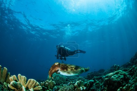 The cuttlefish is swimming above the coral reefs...