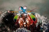 Peacock mantis shrimp in Gorontalo, Indonesia underwater photo
