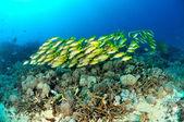 Schooling bluestripe snapper Lutjanus kasmira in Gili,Lombok,Nusa Tenggara Barat,Indonesia underwater photo