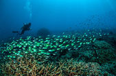 Diver and schooling fish above the coral reefs in Gili, Lombok, Nusa Tenggara Barat, Indonesia underwater photo
