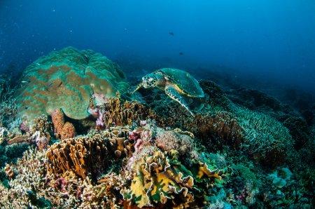 Hawksbill Sea Turtle swimming around the coral reefs in Gili, Lombok, Nusa Tenggara Barat, Indonesia underwater photo