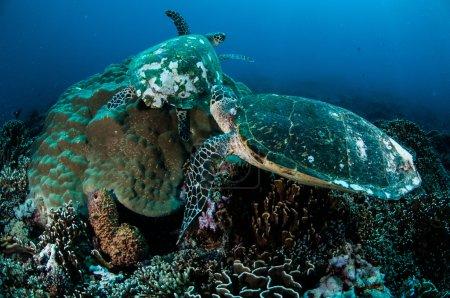 Pairs of hawksbill sea turtle resting on coral reefs in Gili, Lombok, Nusa Tenggara Barat, Indonesia underwater photo
