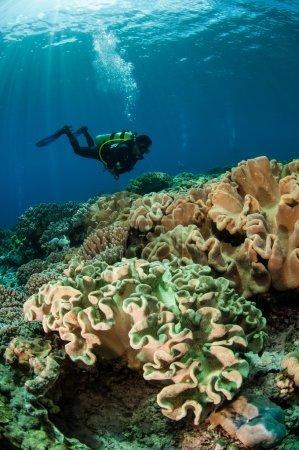 Photo pour Plongeurs nageant au-dessus des champignons Sarcophyton sp . - image libre de droit