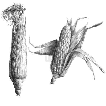 Monochrome illustration with corn
