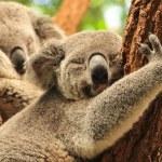 Two koalas having rest on a tree...