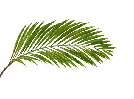 Photo pour Plante tropicale verte isolée sur fond blanc , - image libre de droit