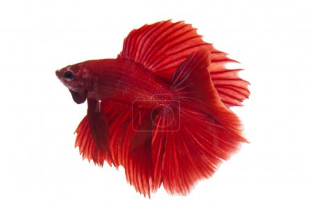 Siamese fighting fish,